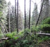 Free Photo - View of old spruce forest