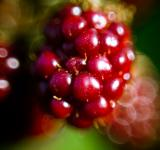 Free Photo - Blackberry macro