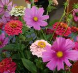 Free Photo - Zinnias and Cosmos