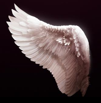 Angel wing - Free Stock Photo