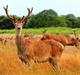 Free Photo - red deer