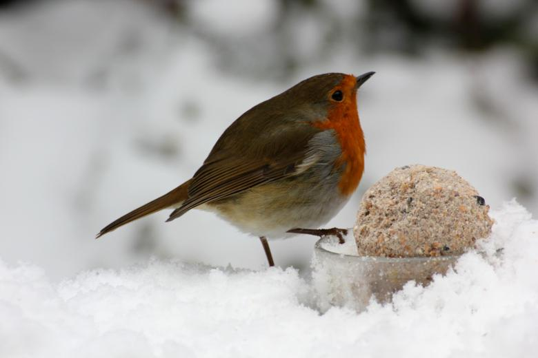 Free stock image of Robin created by paul clifton