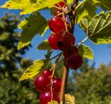 Free Photo - Redcurrant