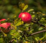 Free Photo - Red apples