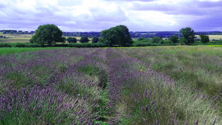 Free Stock Photo of The Lavender Field Created by Miss Evita