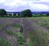 Free Photo - The Lavender Field
