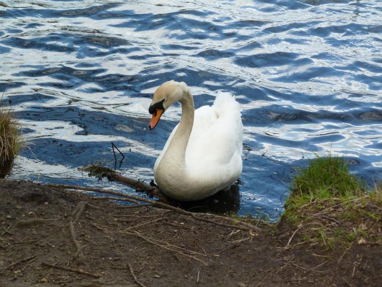 Free Stock Photo of The White Swan Created by Miss Evita