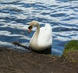 Free Photo - The White Swan
