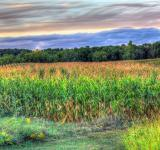 Free Photo - Cornfields at Dusk