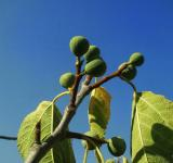 Free Photo - Fig tree branch
