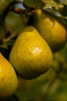 Pears on a branch - Free Stock Photo