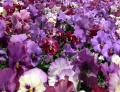 Free Photo - Bright garden purple flowers