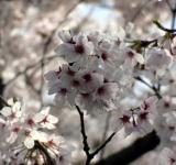 Free Photo - White cherry blossom flowers