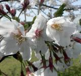 Free Photo - White cherry blossom flower closeup
