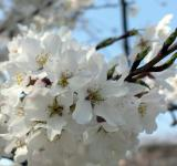 Free Photo - White cherry blossom flower