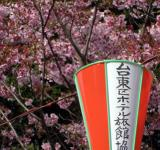 Free Photo - Festival lanterns with pink cherry bloss