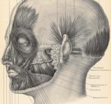 Free Photo - Muscles of Face and Scalp, Circa 1902