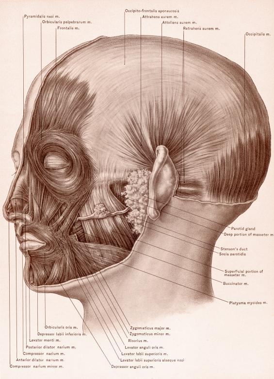 Muscles of Face and Scalp, Circa 1902 - Free Stock Photo by Nicolas ...