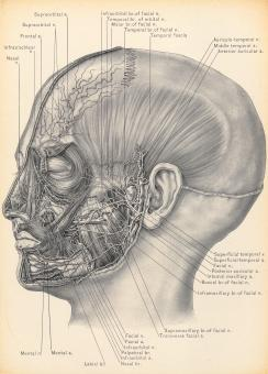 Temporal Fascia and Nerves of Face - Free Stock Photo