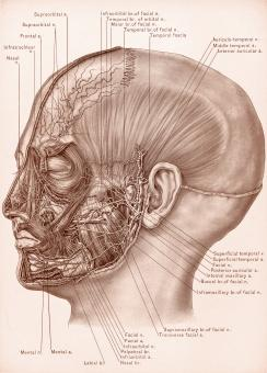 Temporal Fascia and Nerves of Face, Circ - Free Stock Photo