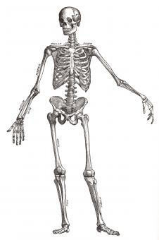 Human Skeleton, Circa 1911 - Free Stock Photo