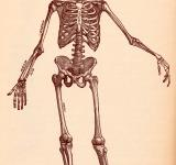 Free Photo - Human Skeleton, Circa 1911