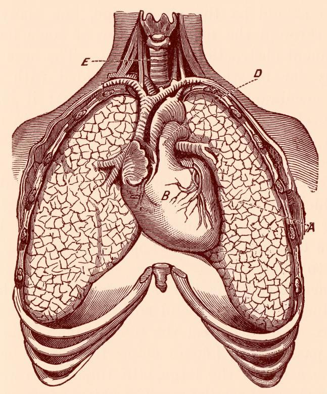 Human Heart & Lungs, Circa 1911 - Free Medical Stock Photos