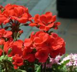 Free Photo - Red potted flowers closeup