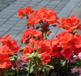 Free Photo - Red potted flowers
