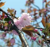 Free Photo - Pink white cherry blossom flower