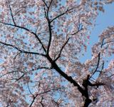 Free Photo - Awesome pink cherry blossom branch