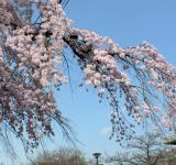 Free Photo - Pink white cherry blossom branch