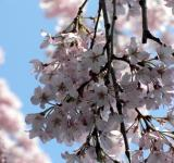 Free Photo - Pink white cherry blossom flowers