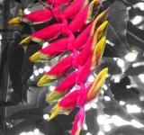 Free Photo - Red Heliconia Flower
