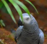 Free Photo - African Grey Parrot