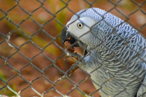 african grey parrots dissertation Juan f masello never intended to study wild parrots twenty years ago, as a graduate student visiting the northernmost province of patagonia in argentina, he planned to write his dissertation on colony formation among seabirds.