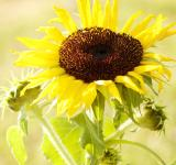 Free Photo - Bright sunflower