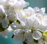 Free Photo - Appletree Flowers