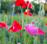 Free Photo - Poppies