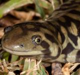 Free Photo - Tiger Salamander
