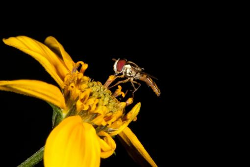 Yellow Flower with Hoverfly - Free Stock Photo