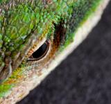 Free Photo - Lizard Eye