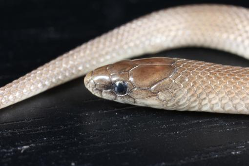 Earth Snake macro - Free Stock Photo