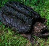 Free Photo - Alligator Snapping Turtle