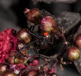 Free Photo - Black Widow Spider
