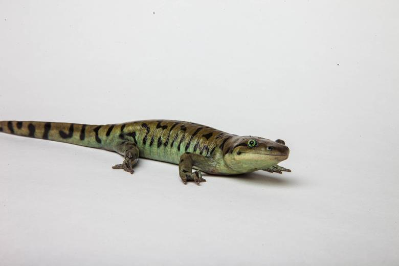 Free Stock Photo of Tiger Salamander isolated on white Created by Jared Davidson