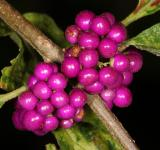 Free Photo - Purple Berries