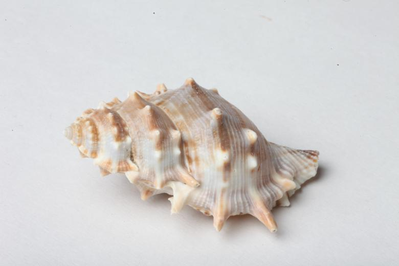 Free Stock Photo of Seashell isolated on white background Created by Jared Davidson