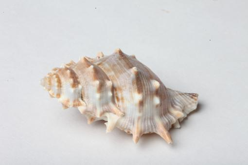 Seashell isolated on white background - Free Stock Photo