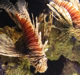 Free Photo - Lion fish